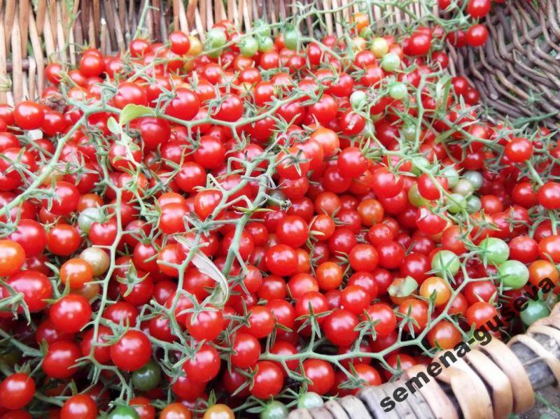 дикие сорта помидор