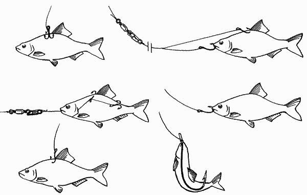 как насадить живца для ловли судака