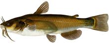 Изображение рыбы Сомик американский