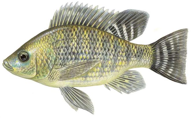 Изображение рыбы Тилапия