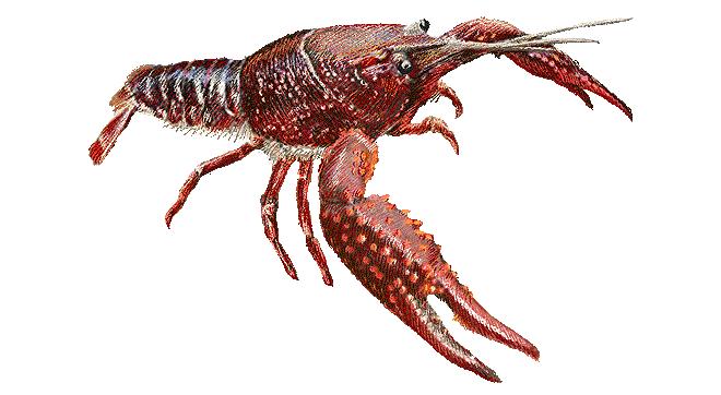 Изображение рыбы Рак американский болотный