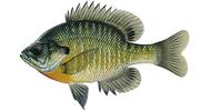 Изображение рыбы Окунь солнечный синежаберный
