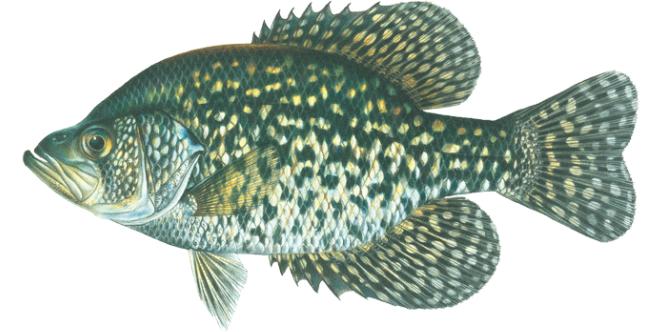 Изображение рыбы Крэппи чёрный