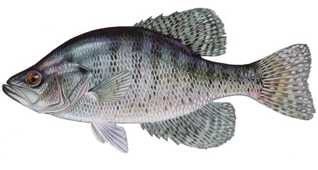 Изображение рыбы Крэппи белый