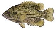 Изображение рыбы Окунь солнечный скальный