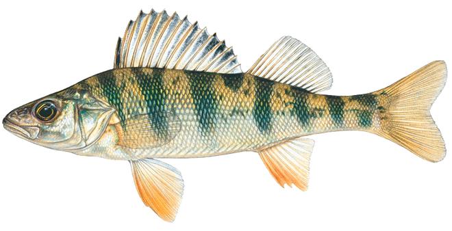 Изображение рыбы Окунь желтый