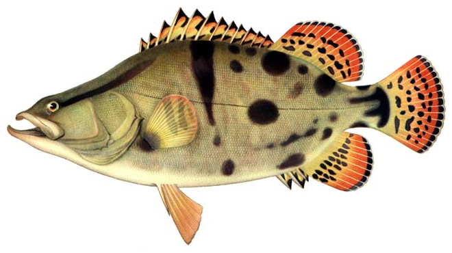 Изображение рыбы Окунь китайский