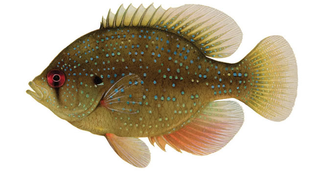 Изображение рыбы Окунь солнечный бриллиантовый