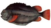 Изображение рыбы Пинагор