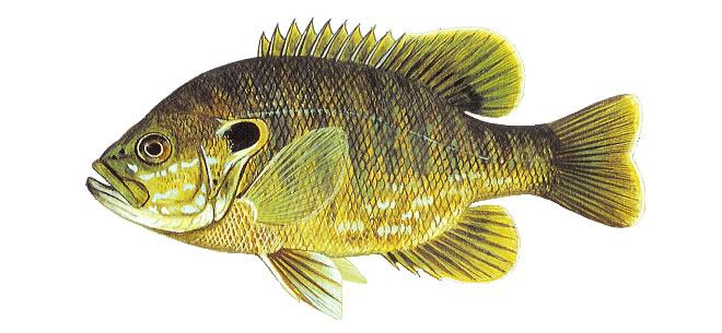 Изображение рыбы Окунь солнечный зеленый