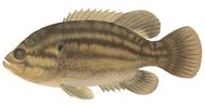 Изображение рыбы Окунь солнечный илистый
