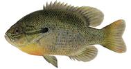 Изображение рыбы Окунь солнечный краснобрюхий