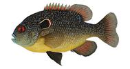 Изображение рыбы Окунь солнечный оранжевый длинноухий