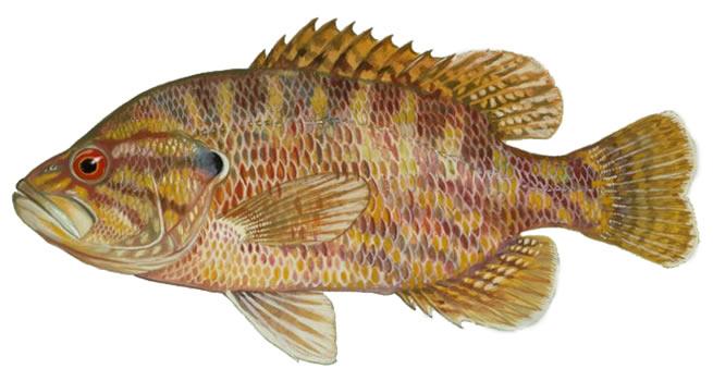 Изображение рыбы Вармоус