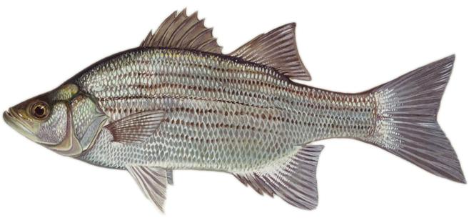 Изображение рыбы Басс белый