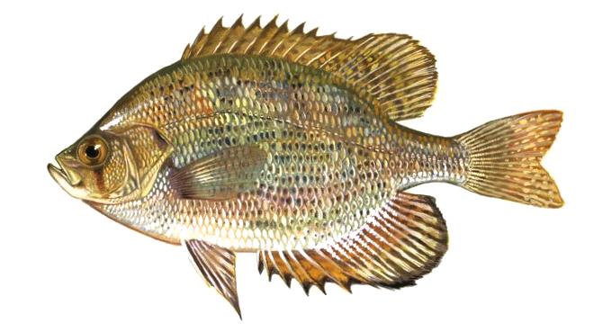 Изображение рыбы Окунь длинноплавничный