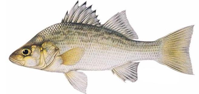 Изображение рыбы Окунь белый