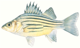 Изображение рыбы Басс жёлтый