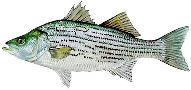 Изображение рыбы Басс гибридный