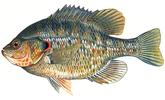 Изображение рыбы Окунь солнечный красноухий