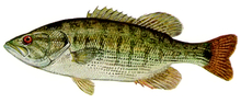 Изображение рыбы Басс красноглазый