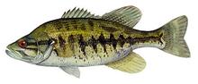 Изображение рыбы Басс Суонни