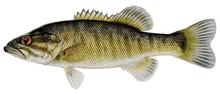 Изображение рыбы Басс прибрежный