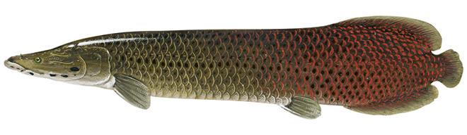 Изображение рыбы Арапаима