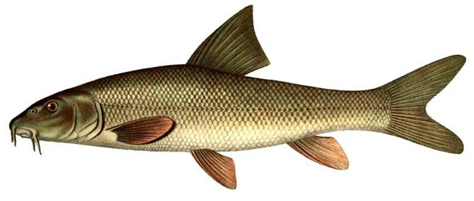 Изображение рыбы Усач обыкновенный
