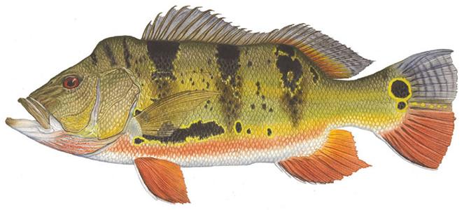 Изображение рыбы Павлиний окунь ленточный