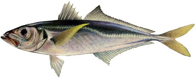 Изображение рыбы Ставрида черноморская