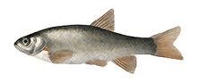 Изображение рыбы Бога португальский