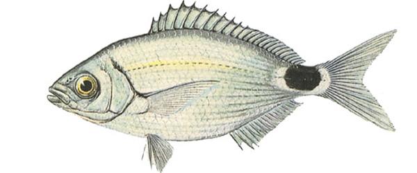 Изображение рыбы Облада чернохвостая