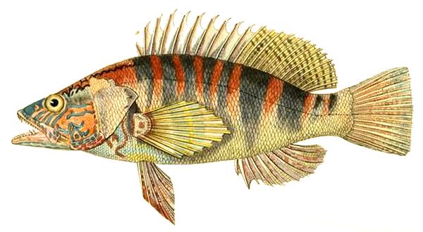Изображение рыбы Каменный окунь-зебра