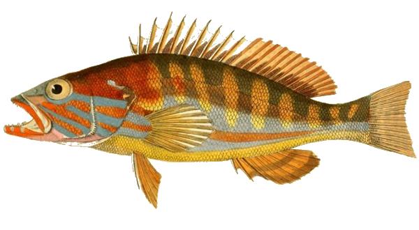 Изображение рыбы Каменный окунь-ханос