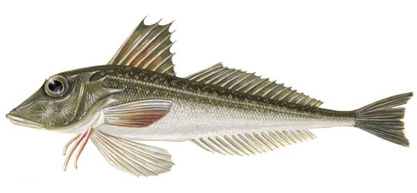 Изображение рыбы Тригла обыкновенная