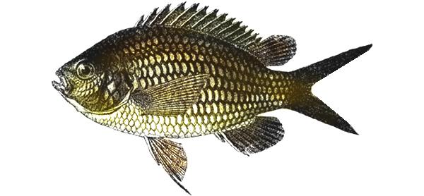 Изображение рыбы Рыба-ласточка