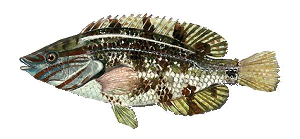 Изображение рыбы Губан-перепёлка