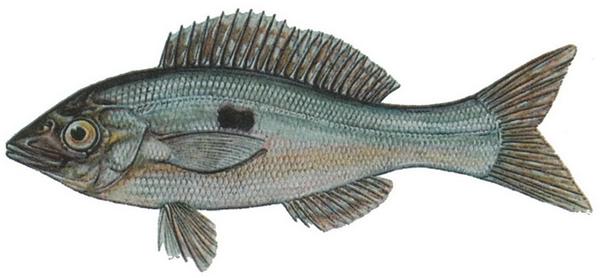 Изображение рыбы Смарида обыкновенная