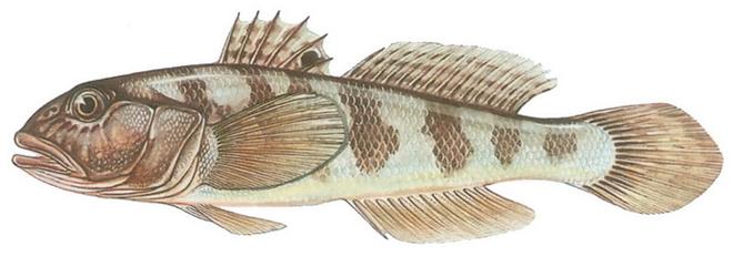 Изображение рыбы Бычок-кругляк