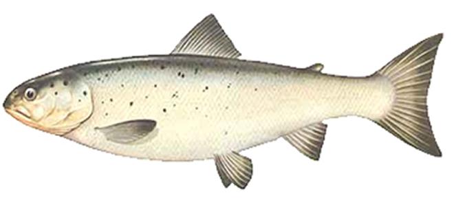 Изображение рыбы Форель итальянская