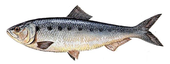 Изображение рыбы Финта озерная итальянская