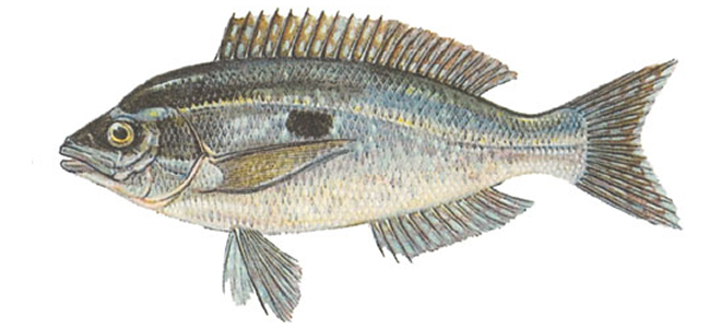 Изображение рыбы Смарида средиземноморская