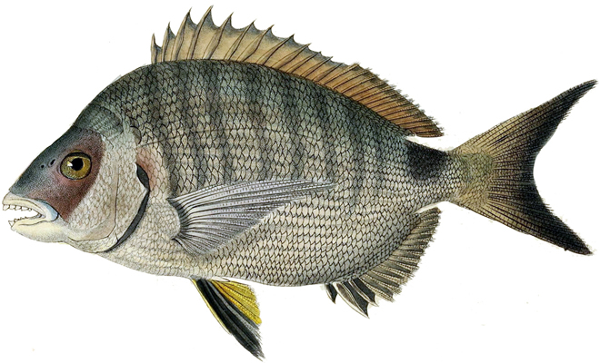 Изображение рыбы Сарг белый
