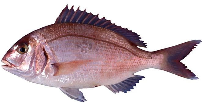 Изображение рыбы Спар белый