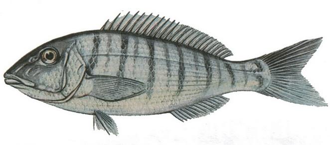 Изображение рыбы Землерой атлантический