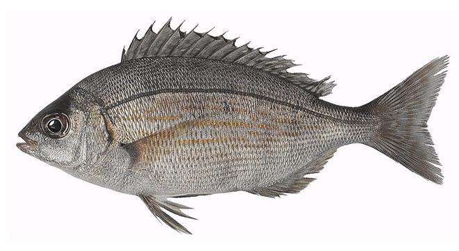 Изображение рыбы Карась-многозуб морской