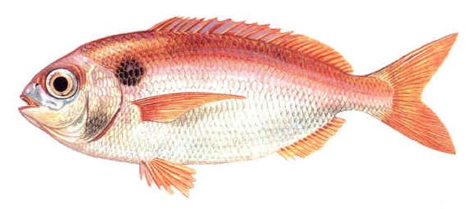 Изображение рыбы Пагель красноперый