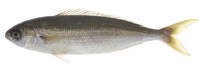 Изображение рыбы Бопс