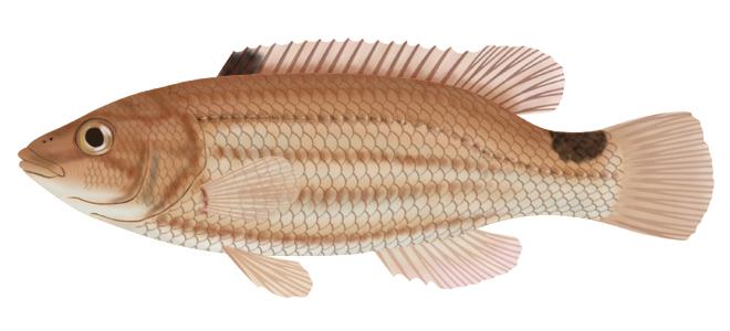 Изображение рыбы Губан-лапина